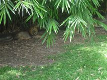 Λιοντάρι που παίρνει ένα σπάσιμο στο ζωολογικό κήπο στοκ εικόνες