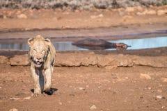 Λιοντάρι που περπατά προς τη κάμερα Στοκ εικόνα με δικαίωμα ελεύθερης χρήσης