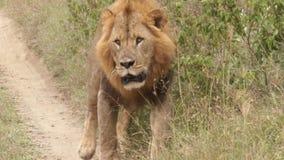 Λιοντάρι που περπατά στο μονοπάτι απόθεμα βίντεο