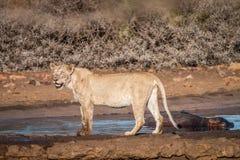 Λιοντάρι που στέκεται δίπλα σε ένα waterhole Στοκ Φωτογραφίες