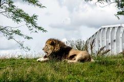 Λιοντάρι που στηρίζεται στη χλόη Στοκ εικόνα με δικαίωμα ελεύθερης χρήσης