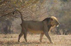 Λιοντάρι που χαρακτηρίζει το έδαφός του στοκ φωτογραφίες