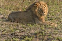 Λιοντάρι σαφάρι σε στάση Στοκ Φωτογραφία