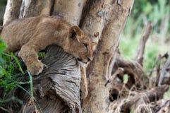 Λιοντάρι σε ένα δέντρο Στοκ εικόνα με δικαίωμα ελεύθερης χρήσης
