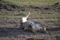 Λιοντάρι σε Maasai Mara, Κένυα Στοκ Φωτογραφία
