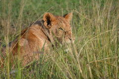 Λιοντάρι σε Maasai Mara, Κένυα Στοκ φωτογραφίες με δικαίωμα ελεύθερης χρήσης