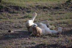 Λιοντάρι σε Maasai Mara, Κένυα Στοκ Εικόνα