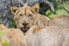 Λιοντάρι στην άγρια Νότια Αφρική Στοκ Εικόνες
