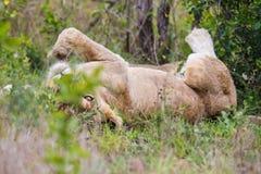 Λιοντάρι στην πίσω Νότια Αφρική Στοκ Φωτογραφία