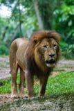 Λιοντάρι στο ζωολογικό κήπο της Σιγκαπούρης στοκ εικόνα με δικαίωμα ελεύθερης χρήσης