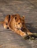 Λιοντάρι στο ζωολογικό κήπο της Sofia, Βουλγαρία Στοκ Εικόνες