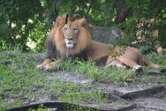Λιοντάρι στο ζωολογικό κήπο Στοκ Εικόνα