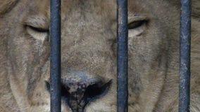 Λιοντάρι στο κλουβί απόθεμα βίντεο
