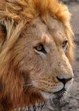 Λιοντάρι στο πάρκο Στοκ εικόνα με δικαίωμα ελεύθερης χρήσης