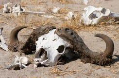 λιοντάρι τροφίμων Στοκ εικόνα με δικαίωμα ελεύθερης χρήσης