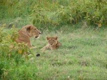 λιοντάρι φλυτζανιών Στοκ Φωτογραφίες