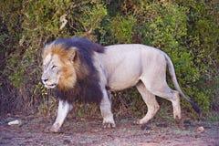 λιοντάρι χαραυγών Στοκ Εικόνες