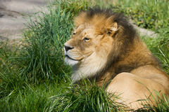 λιοντάρι χλόης Στοκ εικόνα με δικαίωμα ελεύθερης χρήσης