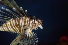 λιοντάρι ψαριών Στοκ Εικόνες