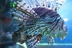 λιοντάρι ψαριών Στοκ εικόνα με δικαίωμα ελεύθερης χρήσης