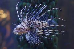 λιοντάρι ψαριών Στοκ Εικόνα