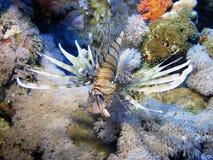 λιοντάρι ψαριών Στοκ εικόνες με δικαίωμα ελεύθερης χρήσης
