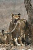 λιοντάρι δαγκωμάτων Στοκ φωτογραφίες με δικαίωμα ελεύθερης χρήσης