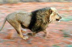 λιοντάρι 01 β Στοκ φωτογραφία με δικαίωμα ελεύθερης χρήσης