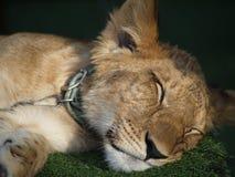λιοντάρι 01 Στοκ Εικόνες