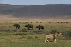 λιοντάρι 076 ζώων Στοκ φωτογραφία με δικαίωμα ελεύθερης χρήσης