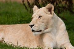 λιοντάρι Στοκ Φωτογραφία
