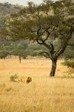 λιοντάρι 19 Στοκ Εικόνες