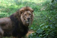 λιοντάρι 2 Στοκ Εικόνες