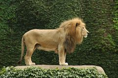 λιοντάρι 2 Στοκ Φωτογραφίες