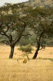 λιοντάρι 20 Στοκ εικόνες με δικαίωμα ελεύθερης χρήσης