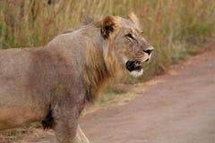 λιοντάρι 4 Στοκ εικόνα με δικαίωμα ελεύθερης χρήσης