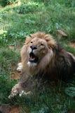 λιοντάρι 5 Στοκ Φωτογραφίες