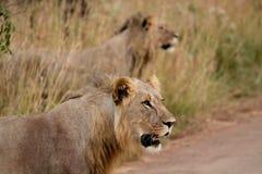 λιοντάρι 5 Στοκ Εικόνες