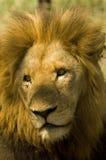 λιοντάρι Στοκ Φωτογραφίες