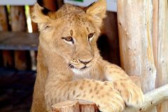 Λιοντάρι 6 μωρών στοκ εικόνες