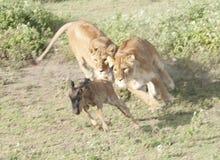 λιοντάρι 6 Στοκ Εικόνα
