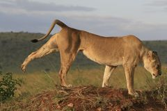 Λιοντάρι Famale που βρίσκεται στην ξηρά χλόη που στηρίζεται και που τεντώνει σε Masai Mara, Κένυα στοκ φωτογραφία με δικαίωμα ελεύθερης χρήσης