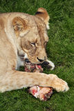 Λιοντάρι & x28 Katanga Leo Panthera bleyenberghi& x29  Στοκ εικόνα με δικαίωμα ελεύθερης χρήσης