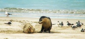 Λιοντάρι Neophoca θάλασσας φαιάς ουσίας στοκ εικόνα