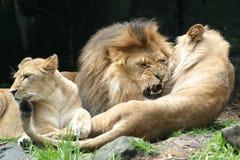 λιοντάρι s δαγκωμάτων Στοκ Φωτογραφία