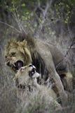 λιοντάρι s ζευγών Στοκ εικόνες με δικαίωμα ελεύθερης χρήσης