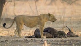 Λιονταρίνα από την αφρικανική θανάτωση Buffalo στοκ εικόνες