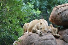 Λιονταρίνα και cub Στοκ Εικόνες