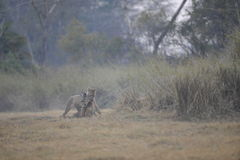 λιονταρίνα λιονταριών θα&nu στοκ φωτογραφία