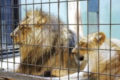 λιονταρίνα λιονταριών Στοκ Φωτογραφία